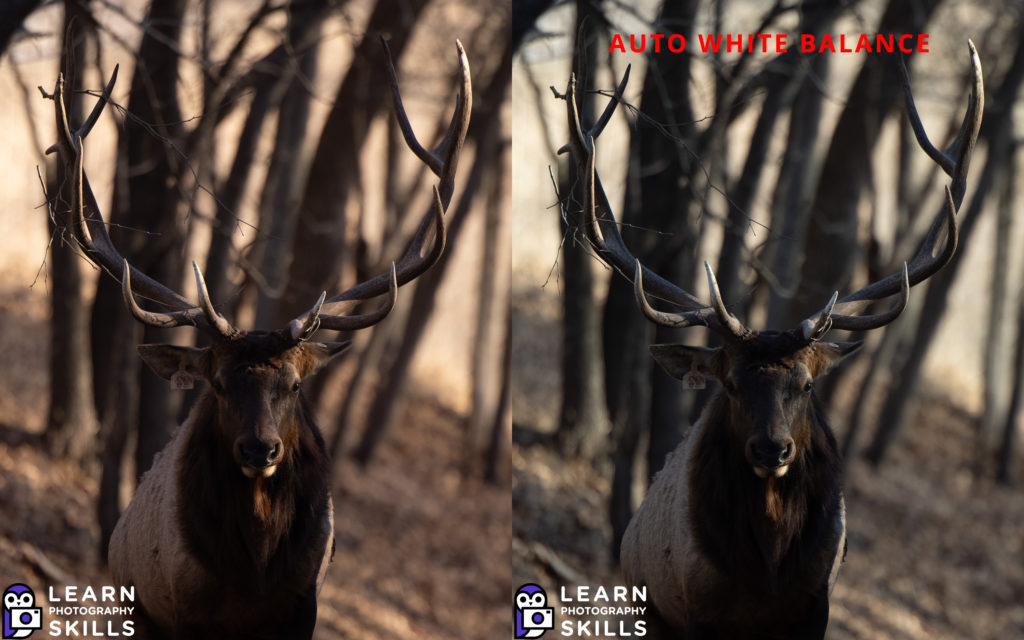 photo of an elk at 200mm canon R5 with RF 70-200